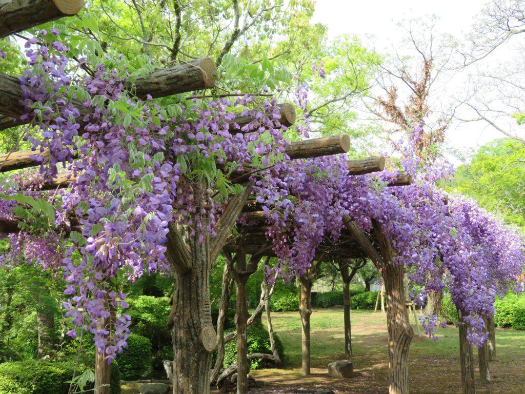 藤の花(大村公園)