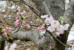 大村公園ソメイヨシノ『三分咲き』