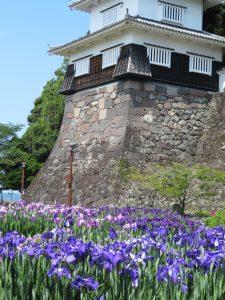 大村公園 花菖蒲【七分咲き】