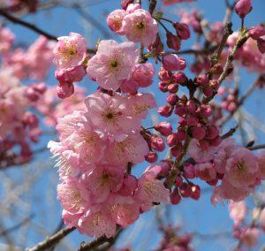 椿寒桜(大村公園)